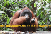 The Orangutans of Kalimantan